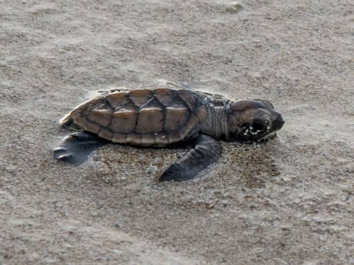 We protect the natural movements of sea turtles through conservation #HalfMoon65